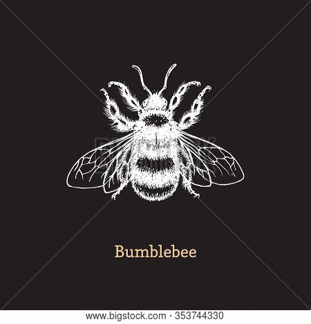 Bumblebee Vector Illustration On Black Background. Hand Drawn Sketch Of Insect In Vintage Style