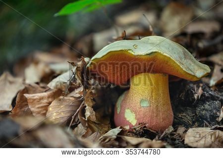 The Poisonous Fungus Rubroboletus Satanas Grows In The Forests Of Central Europe.