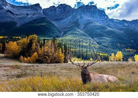 The city of Canmore is surrounded by the Rocky Mountains. Red deer resting  in a picturesque meadow. The concept of active, ecological and photo tourism