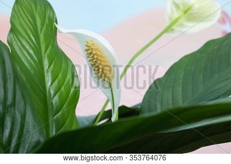 White Spathiphyllum Flower Among Green Leaves Closeup