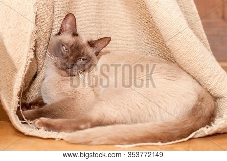 Beautiful Sleepy Siamese Cat Laying Inside A Thread-bare Curtain