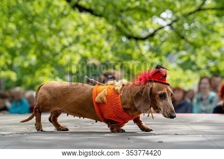 Portrait Dog Of The Dachshund Breed In A Warm Lady Costume In The Park At A Parade Festival Dachshun