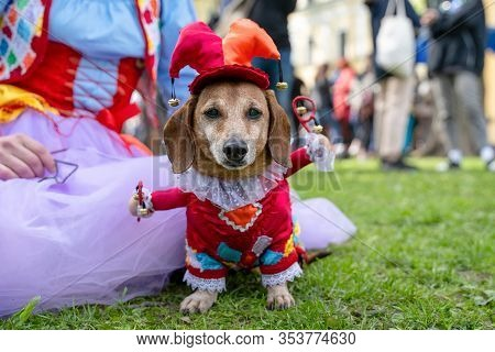 Portrait Dog Of The Dachshund Breed In Costume Colorful Clown And Buffoon In The Park At A Parade Fe