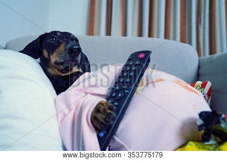 Fat Dog Couch Potato Eating A Popcorn, Chocolate, Fast Food And Watching Television, Holding The Rem