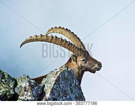 The Chamois (rupicapra Rupicapra) Or Die Alpengämse (gams Oder Gamswild) In The High Pastures Of The