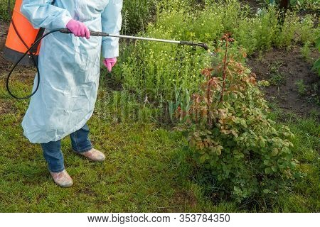 Female Farmer In A Protective Suit Is Spraying Rose Bush From Fungal Disease Or Vermin By Chemicals