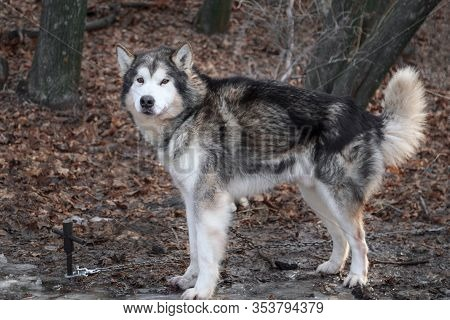 Portrait Of A Thoroughbred Animal Dog Breed Alaskan Malamute. Adult Obedient Pet Beautiful Gray Fluf