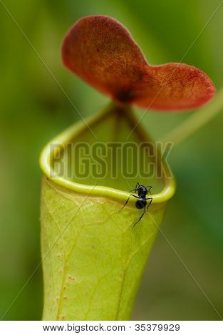Ant Trying To Enter A Predatory Pitcher Plant
