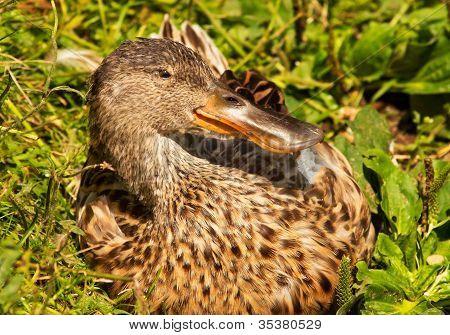 Female Northern Shoveler Duck In Grass Anas Clypeata