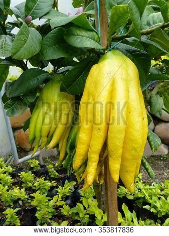Little Tree Citrus Medica Var. Sarcodactylis, Or The Fingered Citron, Known As Buddahs Hand Citron W