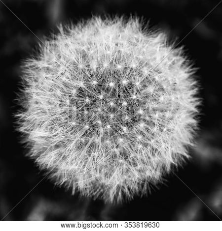 Detail Of Dandelion With Seeds After Flowering, Eurobe