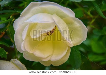 Macro Photo Of A Large White Rosehip Flower With Leaves