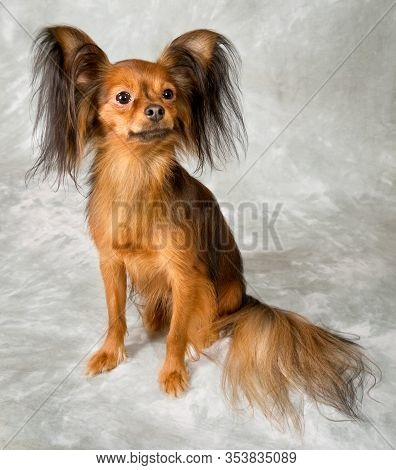 Russian Toy Terrier On White Background, Pet
