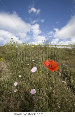 Wild Poppy Flowers In Spring