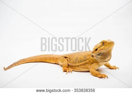 A Bearded Dragon (pogona Vitticeps) Isolated On A White Background