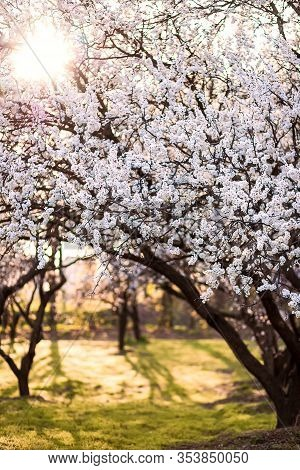 Flowering Apricot Trees In Garden. Sunny Spring Evening. Ornamental Garden With Majestically Blossom