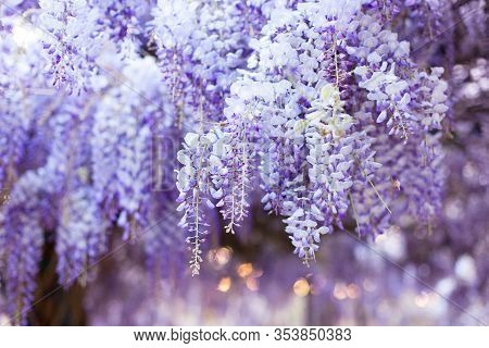 Spring Flowers Wisteria. Flowering Tree Blooming In Sunset Garden. Beautiful Flowers Tunnel Blossom