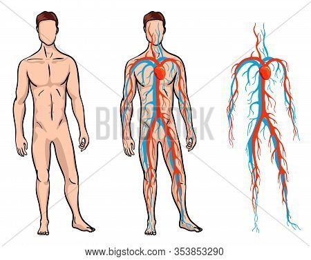Male Circulatory System. Vector Illustration Of Blood Circulation In Human Body. Human Arterial And