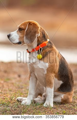 Portrait Of Sitting Beagle Puppy On Blurred Background Autumn Forest. Concept Good Hunter Beagle