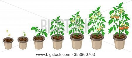 Tomato Plants In Pot. Tomatoes Growth Stages From Seed To Flowering And Ripening. Vector Illustratio