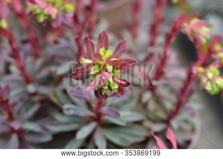 Wood Spurge Purpurea Flower - Latin Name - Euphorbia Amygdaloides Purpurea