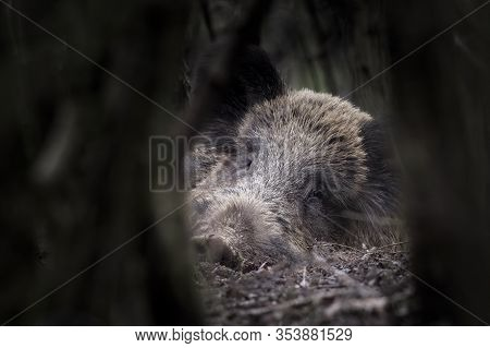 One of wild boar (Sus scrofa - wild swine - Eurasian wild pig - wild pigs) in his natural environment in european forest in late autumn. Male large animals sleeping on the ground.