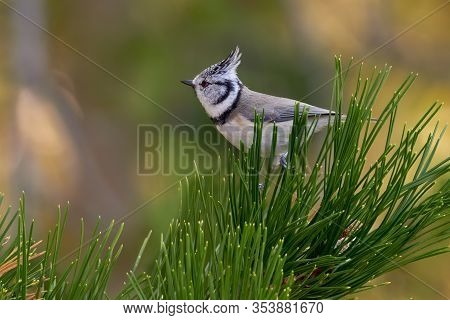 Crested Tit sitting on pine branch. Bird in the nature habitat, Portrait of Songbird tit with crest. Wildlife scene from fall forest. Autumn in nature. Lophophanes cristatus