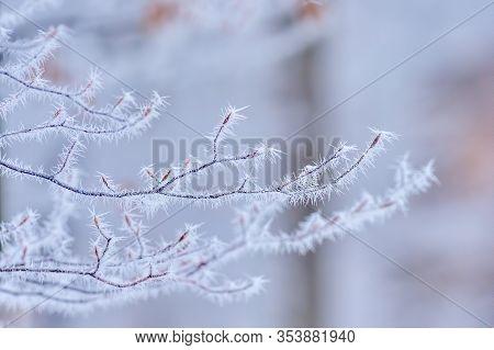Tree branches beech in frosty hoarfrost Branch in white hoarfrost. Frost. Late fall. Winter. Prickle. Field grass in hoarfrost.