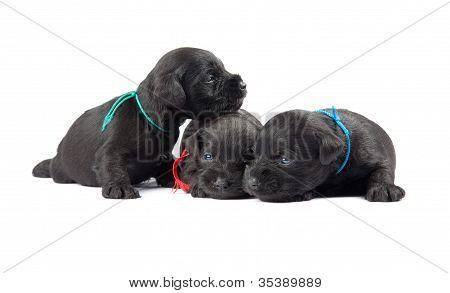 Black Puppys Of Miniature Schnauzer