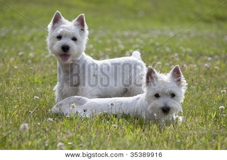 West Highland White Terrier puppys over nature background poster