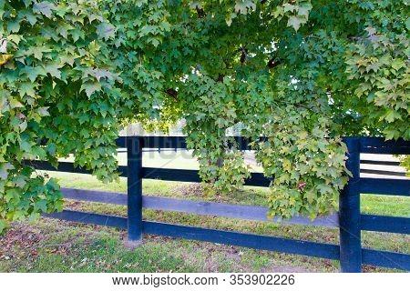 Lush Foliage Of Maple Trees Along The Horse Farms Fence.