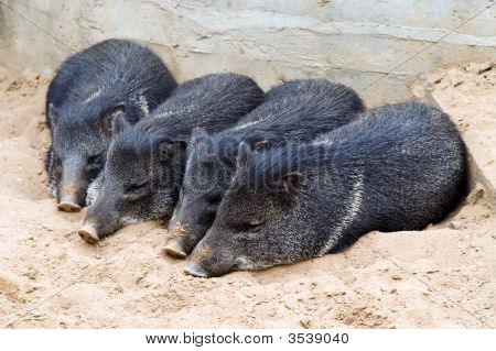 Piglets Sleeping In The Sand