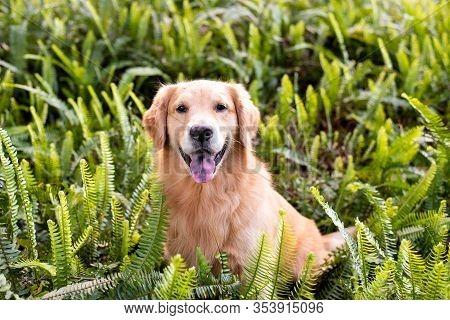 Golden Retrieve Portrait, Dog Sitting In Green Ferns
