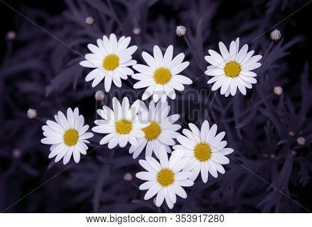 Close-up Of Oxeye Daisy With Dark Background, (leucanthemum Vulgare)