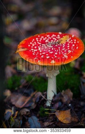Beautiful Red Agaric Mushroom. Toadstool In The Grass. Amanita Muscaria. Toxic Mushroom
