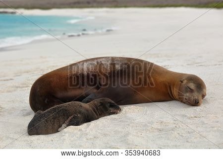 Galapagos islands animals. Newborn baby sea lion pup immediately after birth next to mother sea lion. Galapagos island cruise ship Gardner Bay Beach, Espanola Island, Galapagos Islands, Ecuador.