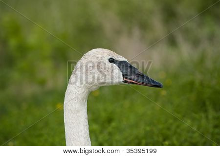 The head and neck of a Trumpeter swan. poster