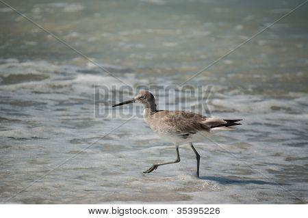 Willet On A Florida Beach