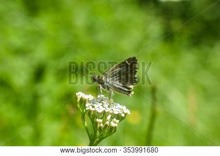 The Mallow Skipper - Carcharodus Alceae, Beautiful Little Butterfly In Grass