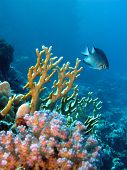 coral reef with exotic fish on the bottom of red sea poster