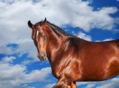 galloping sportive breed horse at clouds sky background poster
