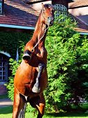 rearing of amazing breed elite stallion . sunny evening poster