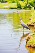 A beautiful blue heron wading at the shore line of Winthrop University Park Lake Rock Hill South Carolina . Focus on eye with full bird in focus with copy space or can be cropped tighter with a full size vertical composition. poster