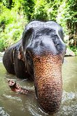 Mature elephant sits in the middle of the waterfall, river with its head poking out. There are many conservation park in Chiang Mai. poster