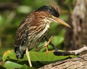 Young Green Heron (Butorides virescens) Stretching its Foot Out - Ontario, Canada poster