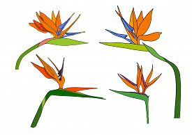 Set Strelitzia Reginae Tropical South Africa Flowers Isolated On White Background. Cartoon Vector St