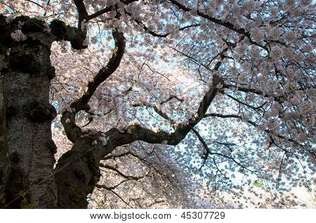 Cherry tree flowers in blossom