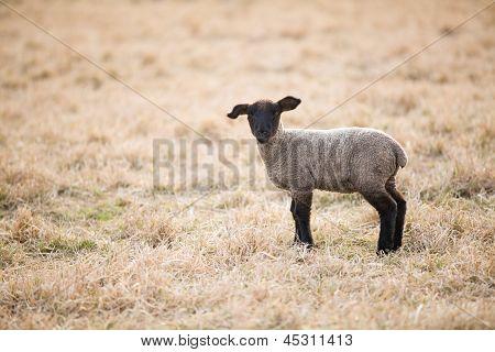 Single Black Lamb On Pasture In Spring