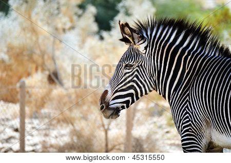 Zebra profile