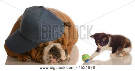 Bulldog Wearing Ballcap With Kitten Playing